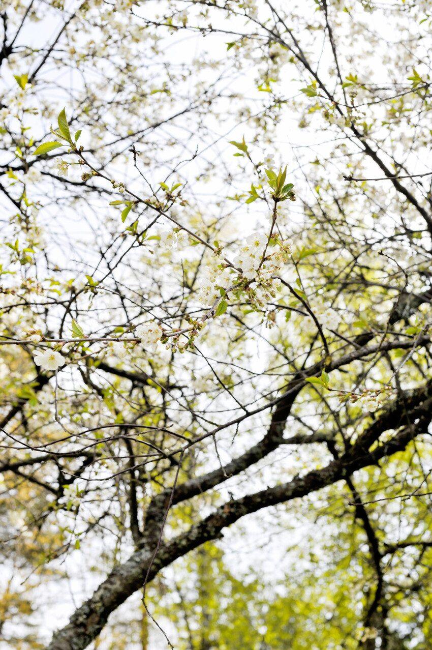 På våren är körsbärsträdet som vackrast med sina små vita blommor.