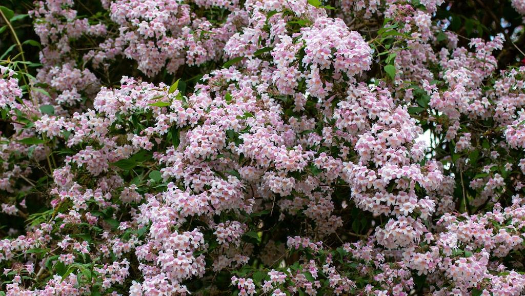 Det finns ingen annan buske som lever upp till paradisbuskens överdåd av blommor.