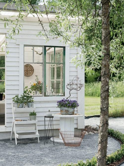 Framför växthuset har Camilla planterat buxbom som bildar en vacker häck som sedan ska formklippas och hållas låg för att ge en fin inramning åt växthuset.
