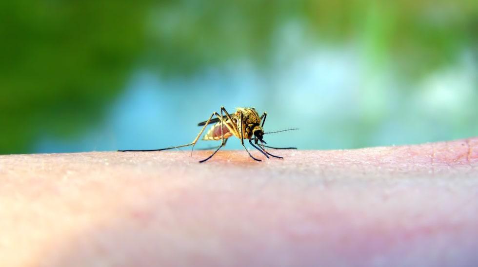 Myggor sprider sjukdomar som malaria, dengue och zika.