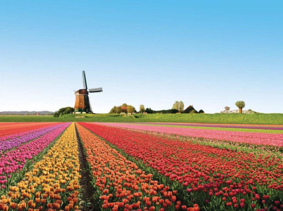 Tulpaner i Nederländerna.