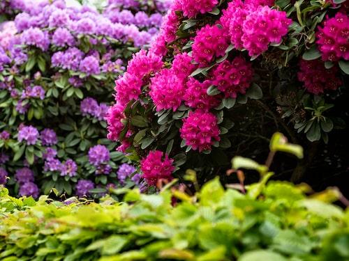 Rhododendron finns i många olika färger.