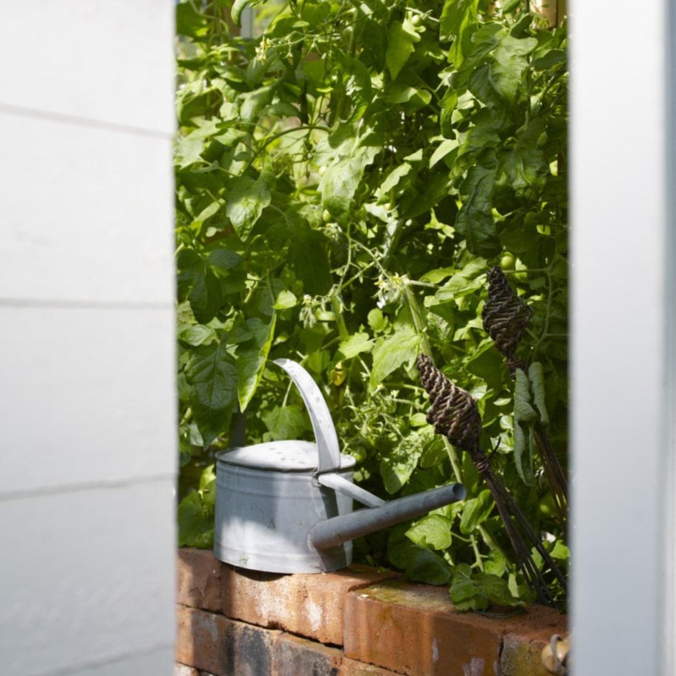 Av tomatplantorna sprider sig en helt ljuvlig doft.