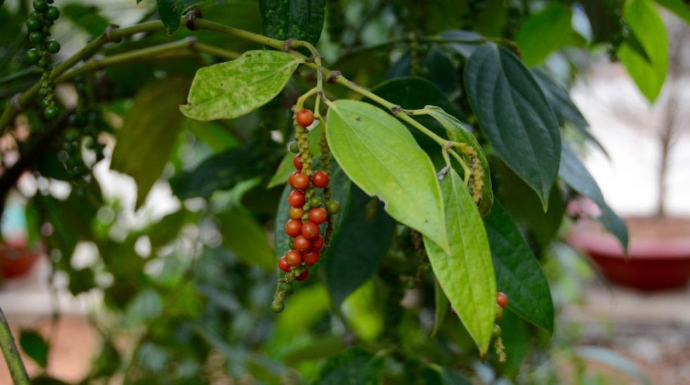 Dra dit pepparn växer! Ja, gärna, för det gör den på Phu Quoc och här finns den allra bästa.