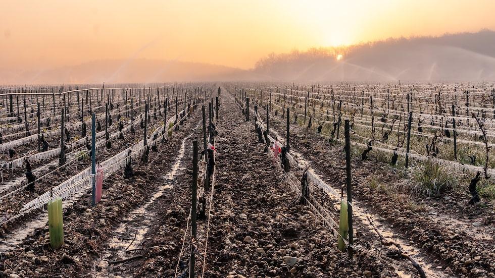 Frost har skapat problem för vinodlare i Europa.