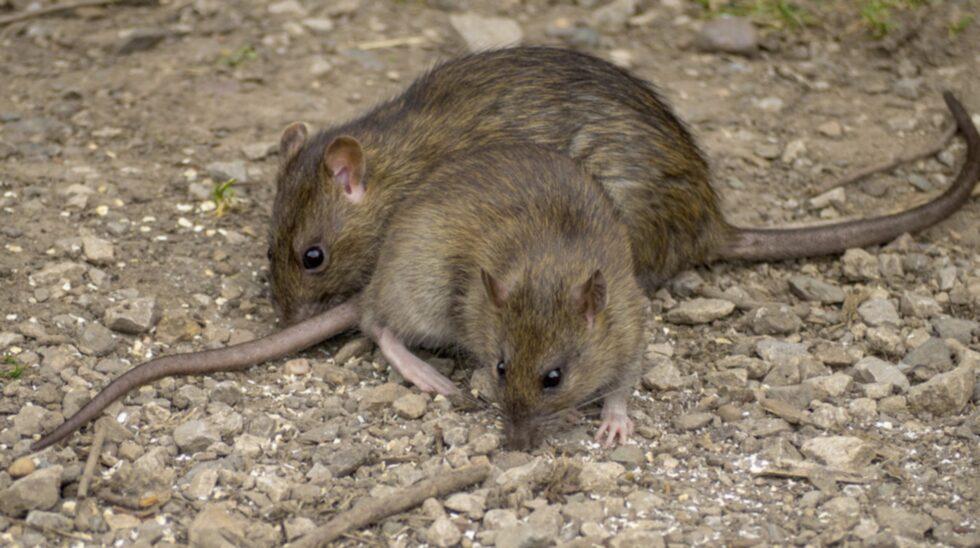 Sedan 2013 har antalet råttor i Sverige ökat explosionsartat.