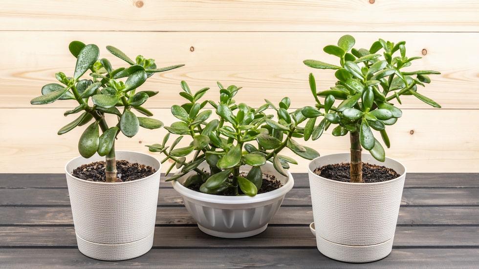 Om du vill ha en tålig krukväxt som tål att du glömmer att vattna – då ska du skaffa ett paradisträd.