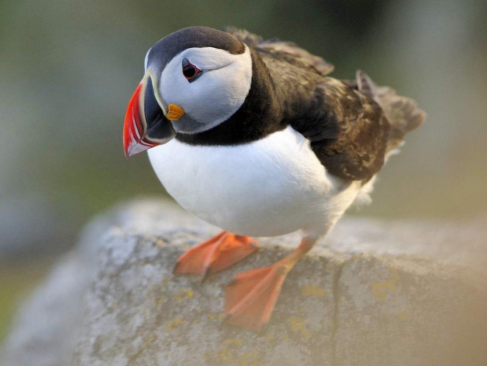Norska Runde är känd som ett fågelparadis.