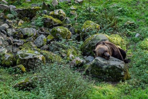 Björnpappan Glok är hösttrött och vilar huvudet. Snart får han gå i ide tillsammans med björnmamman Ester.