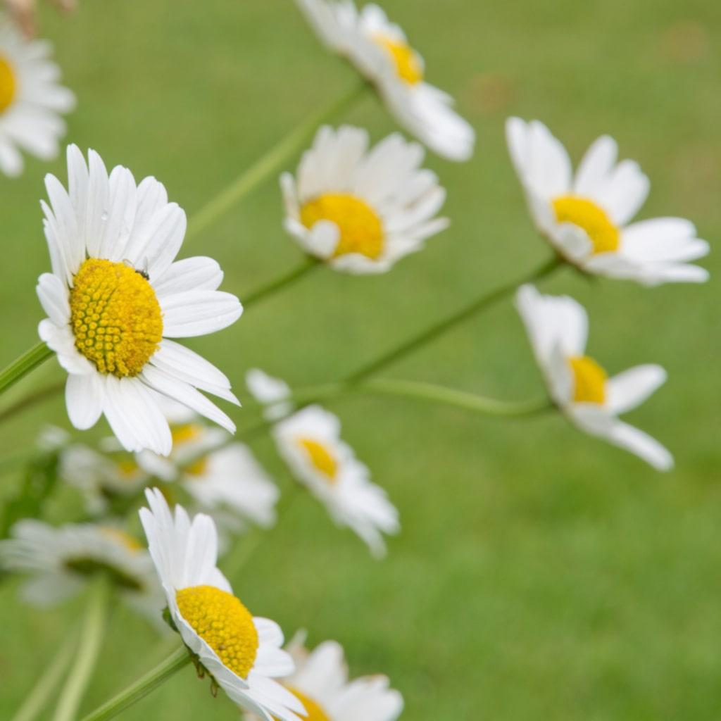 <p><strong>PRÄSTKRAGE.</strong> Prästkragar blir oerhört vackra i sommarbuketter. Trivs i sol eller halvskugga och förökar sig kraftigt. Finns både som frö och planta.</p>
