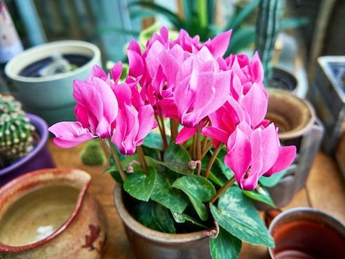Har din cyklamen överlevt till nya året ska du plantera om den i mars-april. Du kan om du är duktig och har lite tur få din cyklamen att blomma om igen i flera år.