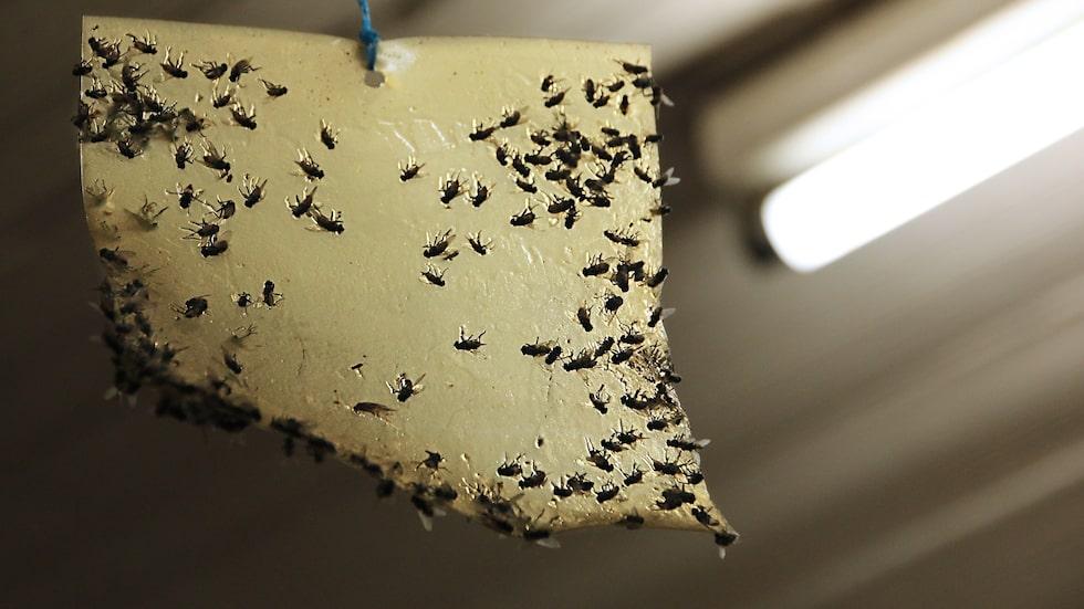 Klisterknepet är sedan gammalt ett sätt att fånga in störande flugor.