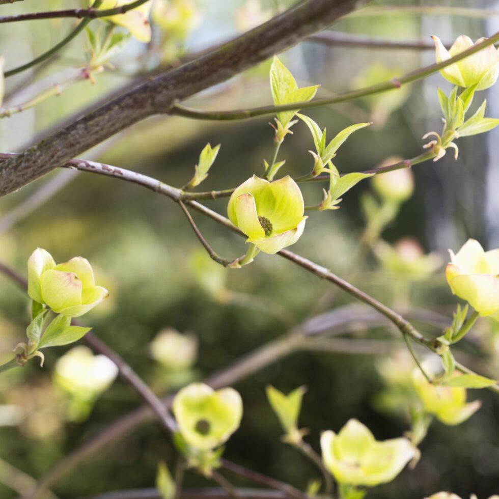 """Blomsterkornellen """"Eddies white wonder"""" får ljuvliga blommor på bar kvist under våren."""