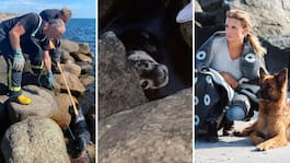 Mias dramatiska kamp – sälen satt fast i klipporna