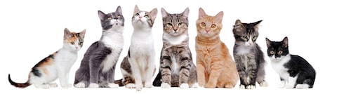 Vilken typ av katt passar dig? Om du köper en raskatt ska du få med stamtavla.