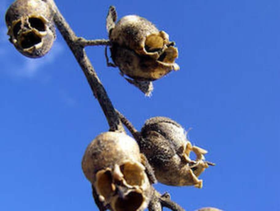 Snap Dragon Seed Pod (Antirrhinum).