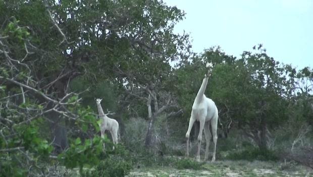 Hallå där - Unika vita giraffer fångade på film