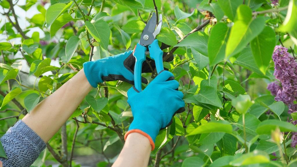 Buskar kan hålla sig fina i många år utan att beskäras. Men det är bra att klippa dem ibland, för förr eller senare blir de glesa och sämre på att leverera blommor.