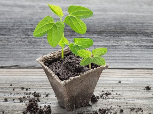 Du skär av grenen under ett bladfäste eftersom det är där tillväxtpunkterna finns. Tryck sedan ner sticklingen djupt i jorden.