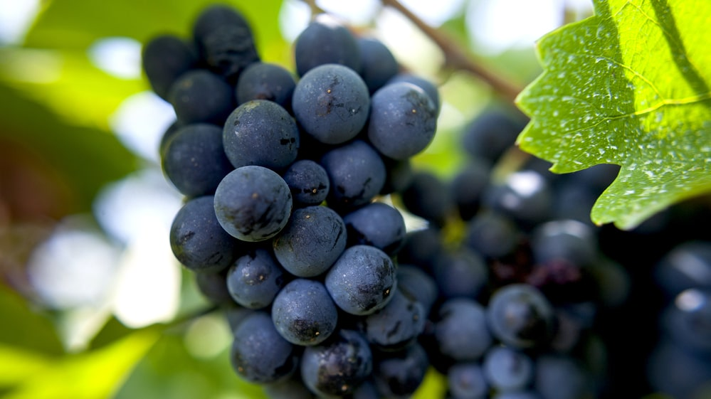 En av många kända, klassiska druvor från Frankrike är pinot noir.