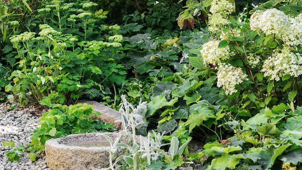 Under raden av pampiga robinior finns en perennrabatt med kärleksört, daggkåpa, lammöron, tremastarblomma, höstanemoner och syrenhortensian 'Little lime'.