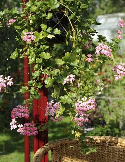 BLAND BLOMMORNA. Nina odlar mest pelargoner och andra värmeälskande växter i krukor i sitt lusthus. Bra för växterna och trevligt för den som ska vistas där.