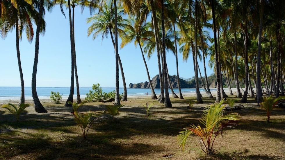 Långa fina palmer ringar in den skyddande viken vid stranden Carrillo på Costa Rica.