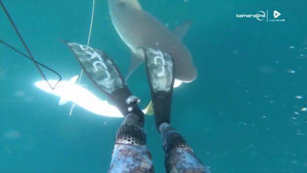 Här snor hajen fiskaren fångst
