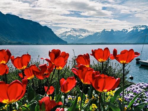Vid Genèvesjöns strand i Montreux råder medelhavsklimat med palmer och blomsterprakt.