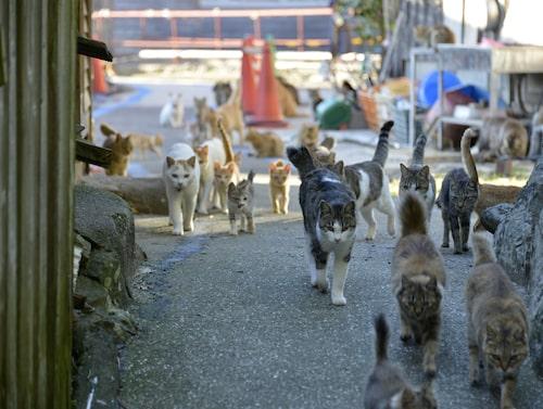 På Aoshima tar den äldre befolkningen hand om kattkolonin.